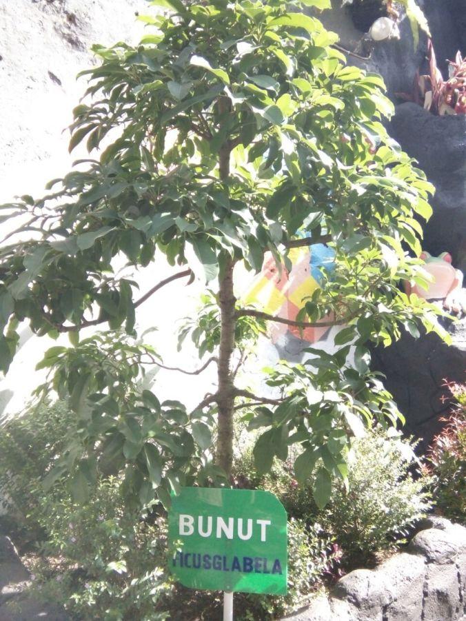 Pohon Bunut