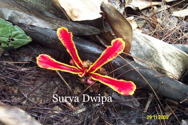 Etlingera megalocheilos variasi 1