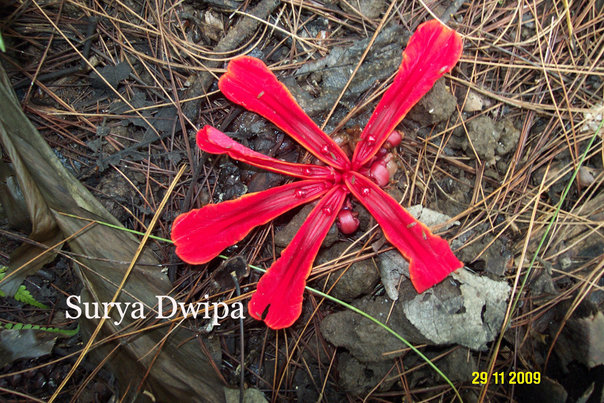 Etlingera megalocheilos variasi 2