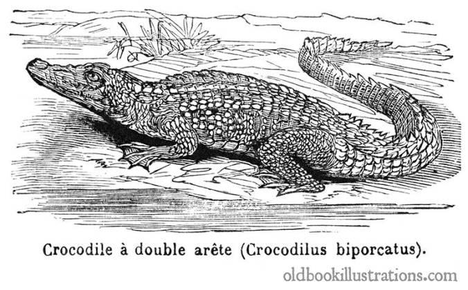 saltwater-crocodile-768